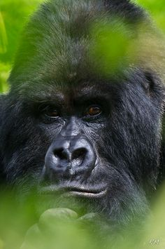Guhonda - 38 year old Silverback Gorilla, chief of the Sabyinyo group