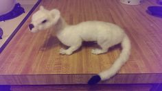 The Felt Experiment: Needle felted weasel on armature all poly fill not wool .