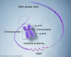 Chromosome: an organized structure of DNA and protein that is found in cells; a single piece of coiled DNA containing many genes, regulatory elements and other nucleotide sequences; also contain DNA-bound proteins, which package the DNA and control its functions; responsible for transmitting genetic info; chromosome theory of inheritance: carriers of genes