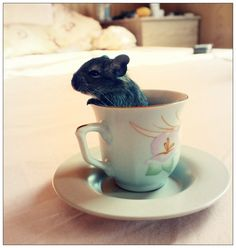 A cup of Degu.  A bit like the Hamster in the tea cup in Alice in Wonderland!