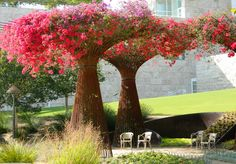 Bougainvillea 'trees' -solves a thorny issue