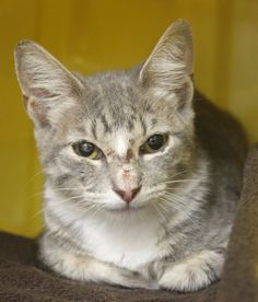ADOPTED>Intake: 9/21 Available: 9/27 NAME: Penny  ANIMAL ID: 33538731 BREED: DSH SEX: Female  EST. AGE: 4 mos  Est Weight: 3 lbs Health:  Temperament: Friendly ADDITIONAL INFO:  RESCUE PULL FEE: $35