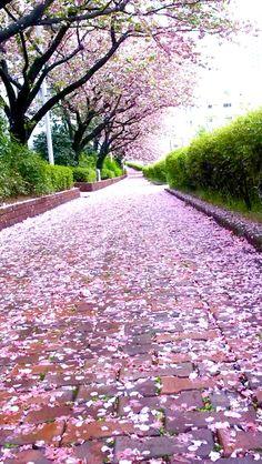 cherry blossoms season in Japan