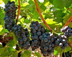 Clone 114 Pinot Noir, Ripken Vineyards, Lodi AVA. Photography by Randy Caparoso. #PinotNoir #Lodi #wine