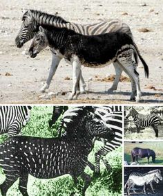 All information about Melanistic Vs Albino Animals. Pictures of Melanistic Vs Albino Animals and many more. Amazing Animals, Unusual Animals, Rare Animals, Animals And Pets, Funny Animals, Animals Images, Beautiful Horses, Animals Beautiful, Melanistic Animals