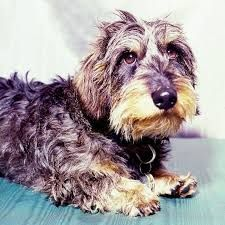 Dachshund Haired Image Perth Result Wire Image Result For Wire Haired Dachshund Perth Wire Haired Dachshund Dachshund Dogs And Puppies