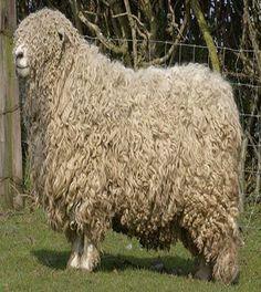 Ireland needs sheep