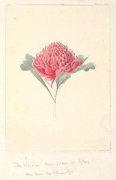 The Waratau [ie Waratah] bush flower at Sydney, one third the natural size. Watercolour, title as above on pencil mount. From Owen Stanley - Voyage of H.M.S. Rattlesnake : Vol. I SAFE / PXC 281/ f.95. State Library of NSW collection.