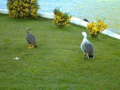 Caiquen .- de color blanco (macho) y color oscuro (hembra) Hosteria Pegoe .-  PN Torres del Paine