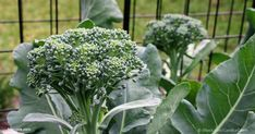 Given its distinctive crunch and delicious taste, in addition to its many health-promoting benefits, it's time to get educated about how to grow broccoli. http://articles.mercola.com/sites/articles/archive/2017/07/07/growing-broccoli.aspx?utm_source=dnl&utm_medium=email&utm_content=art1&utm_campaign=20170707Z2&et_cid=DM149669&et_rid=2070715450