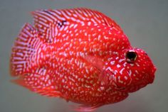 Texas cichlid crossed with blood parrot.  BEAUTIFUL!!!!