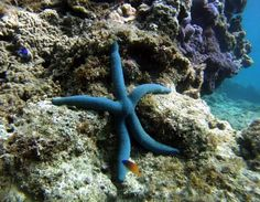 I (Barely) Spy: Starfish Have Poor Vision, Are Color Blind