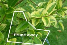Prune away areas which have lost foliage variegation