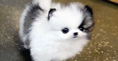 Dogspuppiesforsalecom liked | Micro Teacup Pomeranian Puppies  Ack registered Text us  Text 352-340-3058 Please contact Getting a dog or a puppy as a new addition to your family is an excellent decision! You're adding another member that can provide lots of love and enjoyment! This is a relationship you'd want to make sure that you're doing right the first time around. You'll need to find out what makes your dog happy what are the things to look out for and basically how to give them a long…