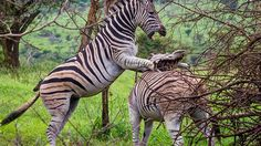 Zebras fight playfully in South Africa