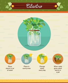 How to grow cilantro from scraps