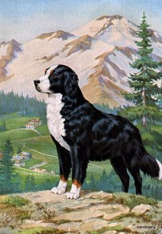 Swiss Bernese Mountain Dog