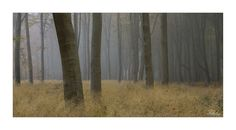JRTurnerPhotography posted a photo:  A nice bit of fog gives some lovely atmosphere in Savernake Forest. This is a panorama of three images.  Canon EOS 5D Mark III|24-105mm L  I've been teaching Poppy photography, take a look at her Flickr .  Facebook | Twitter | Website