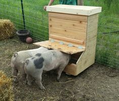 Just finished building a pig feeder for two, they seem to approve. Pig Shelter, Farm Projects, Animal Projects, Pot Belly Pigs, Pig Pen, The Barnyard, Mini Pigs, Pet Pigs, Mini Farm