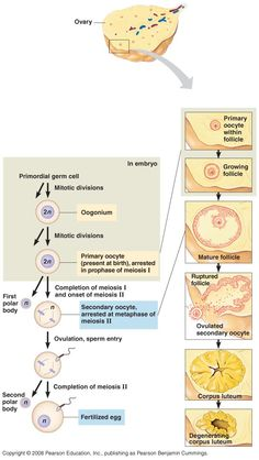 Oogenesis: diploid germ cells in ovary: oogonia, mitosis primary oocytes, meiosis 2 daughter cells diff. size; 2nd oocyte (large): 95% cytoplasm; polar bdy usually arrests develop; 2nd. oocyte divides to large ovum & 2nd polar bdy; only 1 funct. ovum; 22 auto + X chrom; begins fetus, 6th mths ovaries frmd, primary oocytes in diplotene, puberty: release 1 prim. oocyte per month from alt. ovaries; ovulation: oocyte meios. I, metaphase meios. II, when fert, meiosis II, menses: unfert. oocytes…