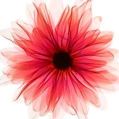 xray flower - Buscar con Google