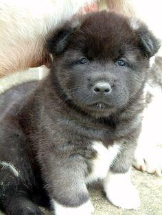 Akita puppy, oh sooo adorable