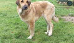 Spanish Mastin Cross Dogs for Adoption and Rescue Foster Care, Rescue Dogs, Spanish, Adoption, Animals, Foster Care Adoption, Animales, Animaux, Spanish Language