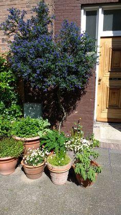 Beautiful Ceanothus in The Hague front door garden