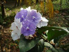 Sanango, flor Amazonas.
