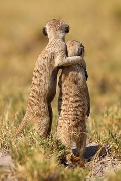 "Meerkats - ""Someday, my son"" by Thomas Retterath."