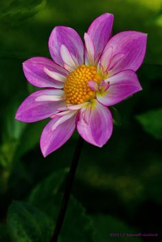 "~~Alpen Diamond Dahlia | Collarette form, pink, lavender and white blooms that are 2 to 4"". Grows to 3-1/2 ft high 