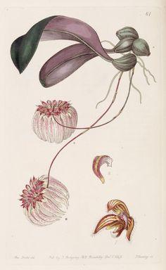 (1843) - Edwards's botanical register. - Biodiversity Heritage Library
