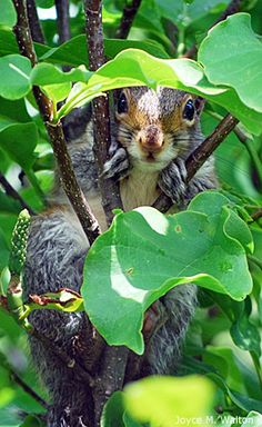 Gray squirrel in tree.  Adler and Rothman represent extremes in human response to that remarkable, and remarkably vexing, native American mammal known as the eastern gray squirrel...