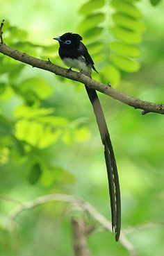 Credit: YONHAPNEWS/EPA A Korean paradise flycatcher in South Korea's eastern port city of Gangneung. The bird has been put on the red list o...