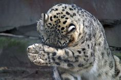 Snow Leopard, Paw, Misery
