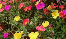 Nombre científico o bien latino: Portulaca oleracea Nombre común o bien vulgar: Portulaca , verdolaga , yerba del pollo , beldroega. Familia: Portulacaceae.