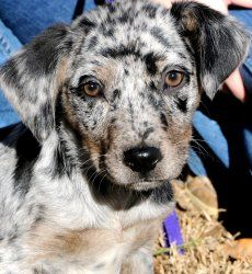 KALI(WOW!!! LOOK AT THIS BEAUTIFUL PUPPY--ADORES CHILDREN!!) is an adoptable Catahoula Leopard Dog Dog in Newington, CT. KALI****CONTACT SHELLY lovedogs.rescue@gmail.com***KALI---KALI IS A BREATHTAKIN...