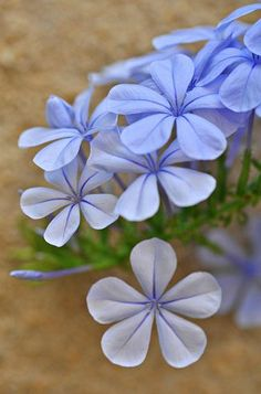beautiful plumbago... a butterfly's favorite