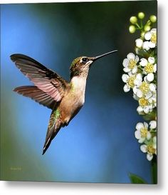 Just Looking Hummingbird Square Metal Print by Christina Rollo.  All metal prints are professionally printed, packaged, and shipped within 3 - 4 business days and delivered ready-to-hang on your wall. Choose from multiple sizes and mounting options.