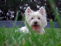 westie laying in the grass