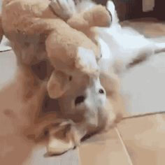 "gifsboom: "" Golden Pupper Happy With Her New Toy. """