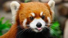 30.+A+little+red+panda+by+Harimao+Lee.jpg 900×506 pixel