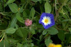 Convolvulus tricolor L