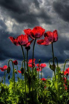 poppy-field by fotographikus on DeviantArt Photo D Art, California Poppy, Red Poppies, Amazing Flowers, Mother Earth, Flower Art, Flower Power, Wild Flowers, Nature Photography