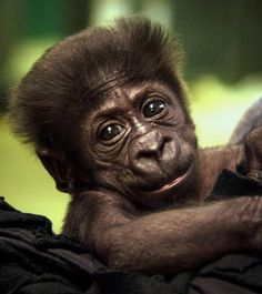 A Western Lowland gorilla who was born Aug. 16 at the zoo, is pictured at the zoo in Oklahoma City.
