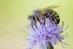 Bee on the thistle (Martin Erstling / Merklingen / Germany) #nikon D500 #macro #photo #insect #nature