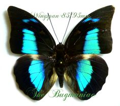 Nymphalidae : Archaeoprepona demophon gulina - The Bugmaniac INSECTS FOR SALE BUTTERFLIES FOR SALE INSECTS FOR SALE BUTTERFLIES FOR SALE BUTTERFLIES BY ECOZONE NEOTROPICAL ECOZONE NYMPHALIDAE