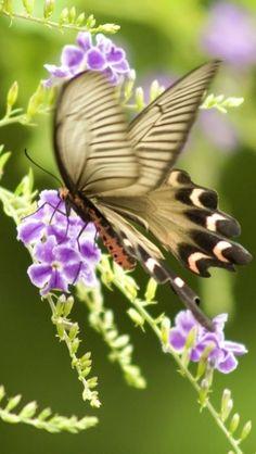 butterfly or moth Beautiful Bugs, Beautiful Butterflies, Beautiful Flowers, Simply Beautiful, Flying Flowers, Butterflies Flying, Butterfly Kisses, Butterfly Flowers, Purple Flowers