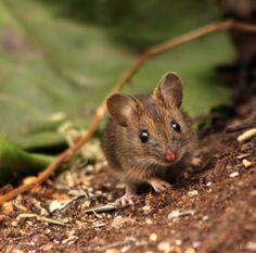 Metsähiiri tuli yllätetyksi   Suomen Luonto Mini Beasts, Mice, Finland, Natural Beauty, Wildlife, Cute Animals, Friends, Nature, Collection