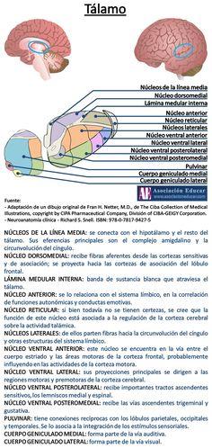 Tálamo. - Asociación Educar - Ciencias y Neurociencias aplicadas al Desarrollo Humano - www.asociacioneducar.com